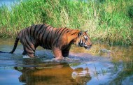 निकुञ्जलाई बाघको सङ्ख्याले संरक्षणमा चुनौती