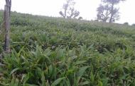 अलैँची खेतीमा रम्दै कृषक
