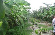छठको लागि भारतबाट रु ४० लाखको केरा आयात