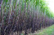 उद्योग सञ्चालन नहुँदा बिचल्लीमा उखु किसान