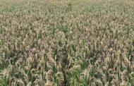 धान लाग्ने रोगका कारण किसान हैरान
