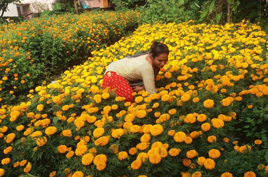 तिहार नजिकिएसँगै किसानहरुलाई फूल टिप्न चटारो (फोटो फिचर)