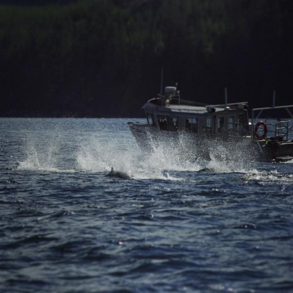 Schweinswale in der Johnstone Strait