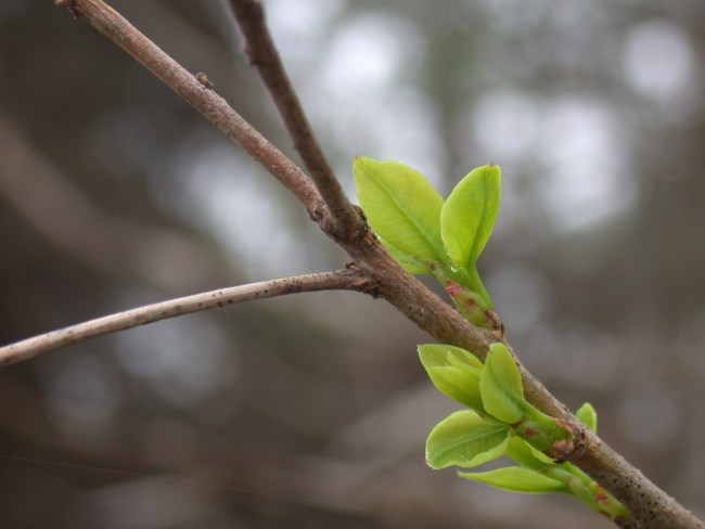 New leaves on Spring twig.