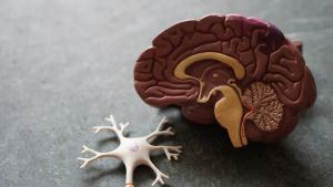 model of human brain and model of neuron