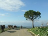 Transhumance and the road to Ficuzza in Sicily.