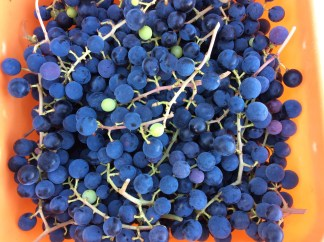 fragolina grapes