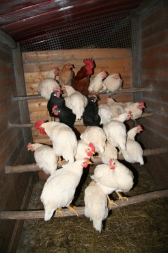 our hens