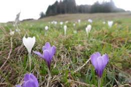 more crocus in an alpine meadow, the first of the spring parade of alpine flowers