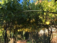 A pergola overloaded with lemons.