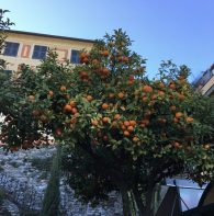 Orange trees everywhere.