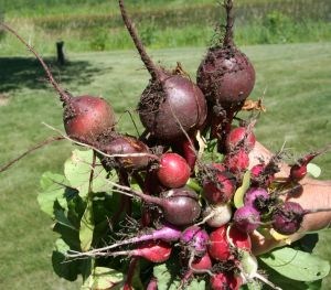 fistfull of radishes and beets