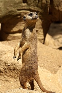 meerkat public domain