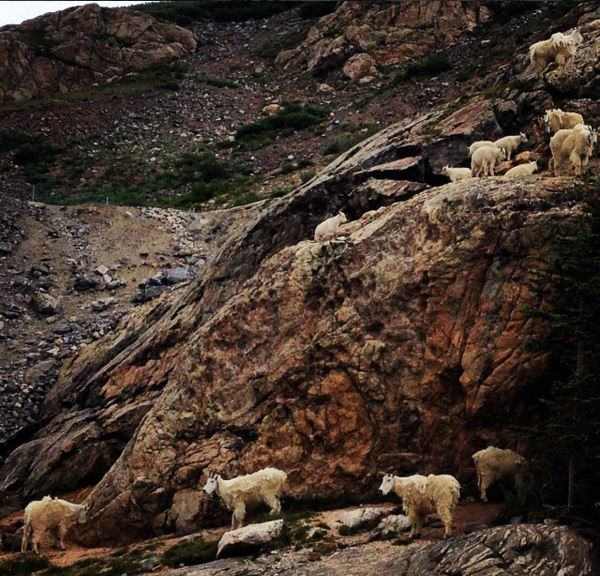 Mountain Goats I encountered last summer while hiking near the Blue Lakes Trail.