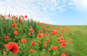 Poppies in field, Remembrance Day, Horsham
