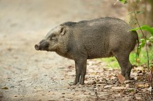 Wild boars aren't just pests. They help tropical forests