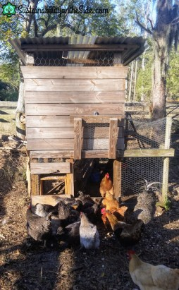 chickens in front of coop
