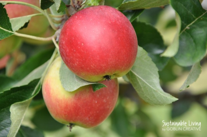Vackra äpplen