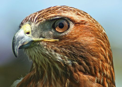 Northern-Red-Tailed-Hawk- wikipedia-image
