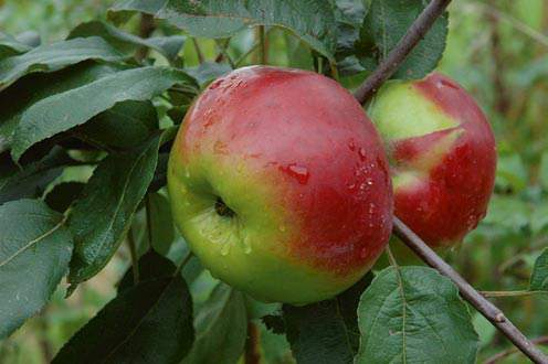 apple inbreeding and disease susceptibility