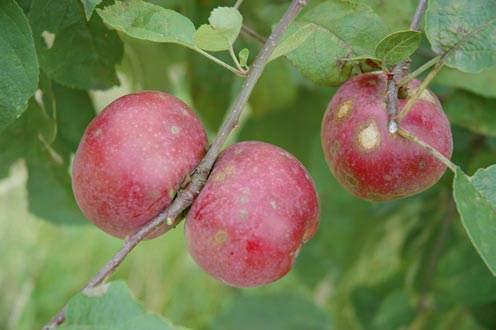 apple inbreeding and disease susceptibility