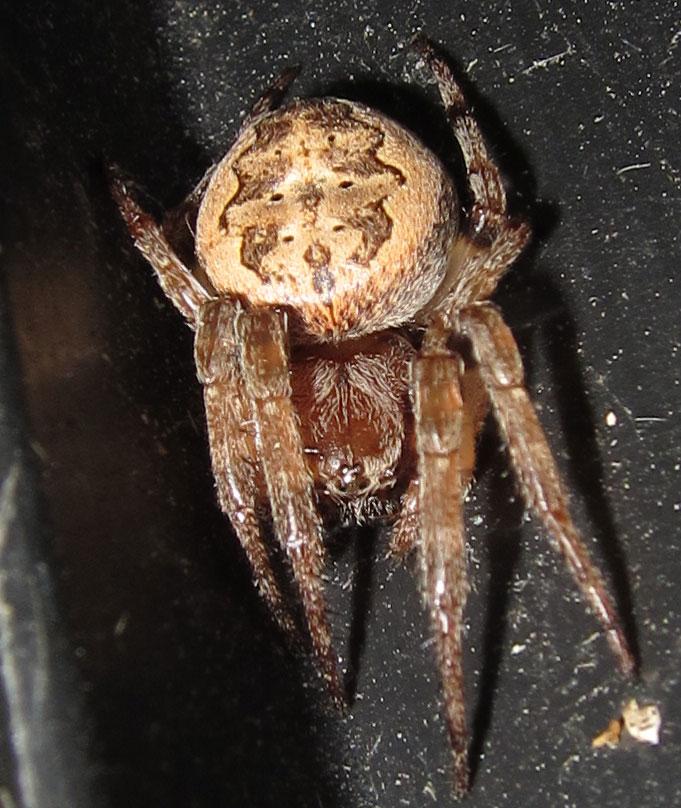 Furrow Orb Weaver Spider  Spiders in Sutton Massachusetts