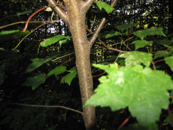 Red Maple Tree Bark  Trees of Sutton Massachusetts