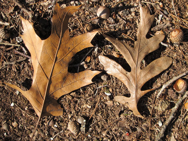 Pin Oak Vs Red Oak Bark