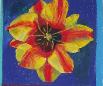 Opening Tulip