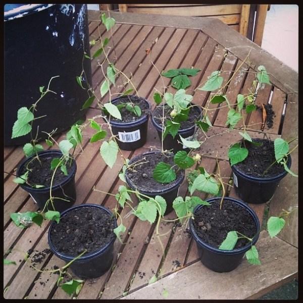 21 styk humlestiklinger plantet ud og klar til at slå rødder.