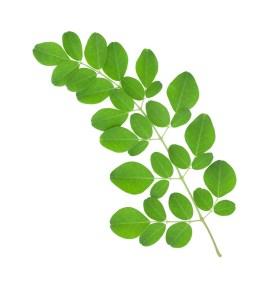 Moringa-Oleifera copy