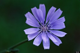 o-CHICORY-ROOT-570