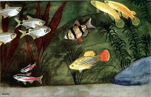 Akvariefiskar, from Djurens värld 1939, 1948. Artist T.O. Fredlin