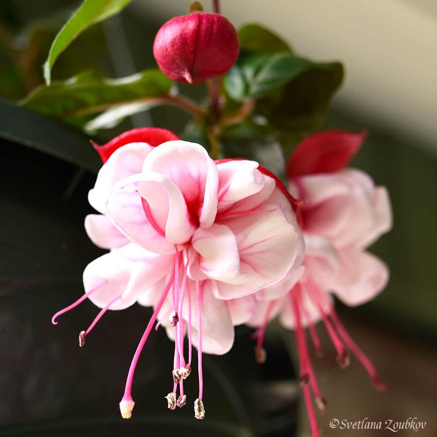 Photo Portraits Of Columbine, Azalea, Rhododendron, Fuchsia, Rose