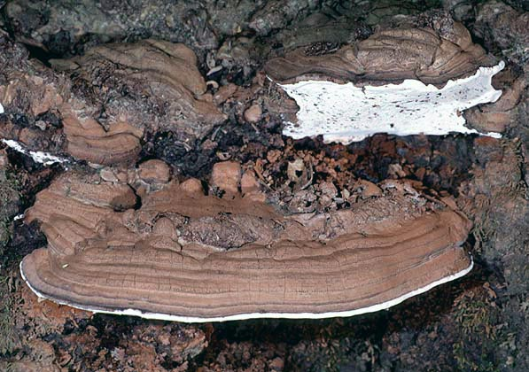 polypores of the pacific