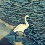 Tundra swan on the bay