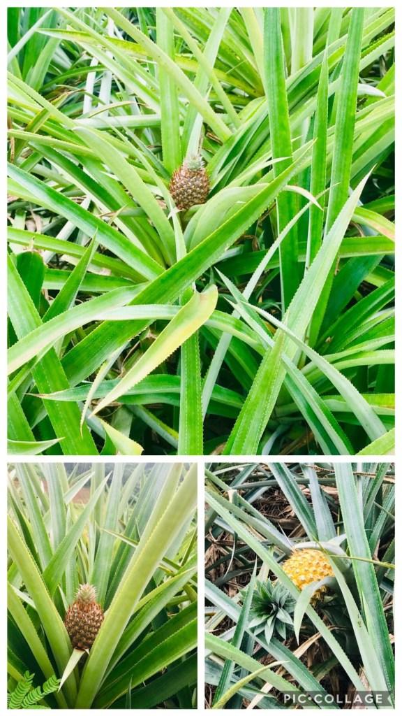 Pineapple Fields on Moorea