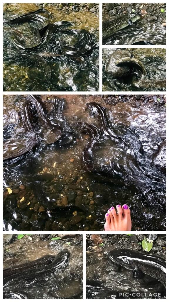 Sacred Eels of Huahine