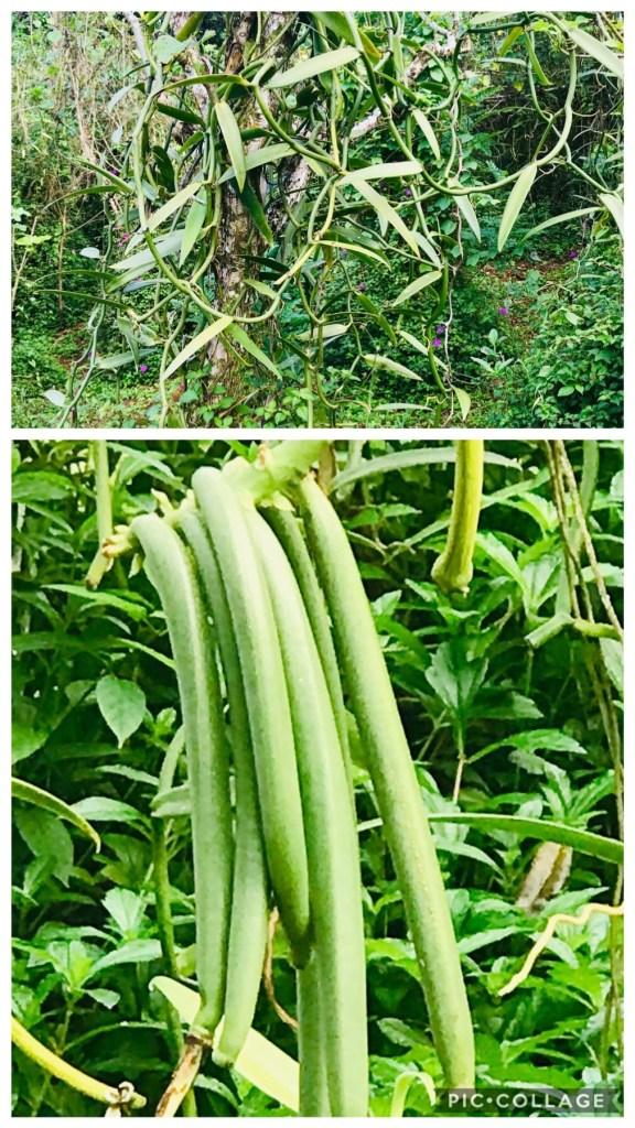 Vanilla Bean Growing