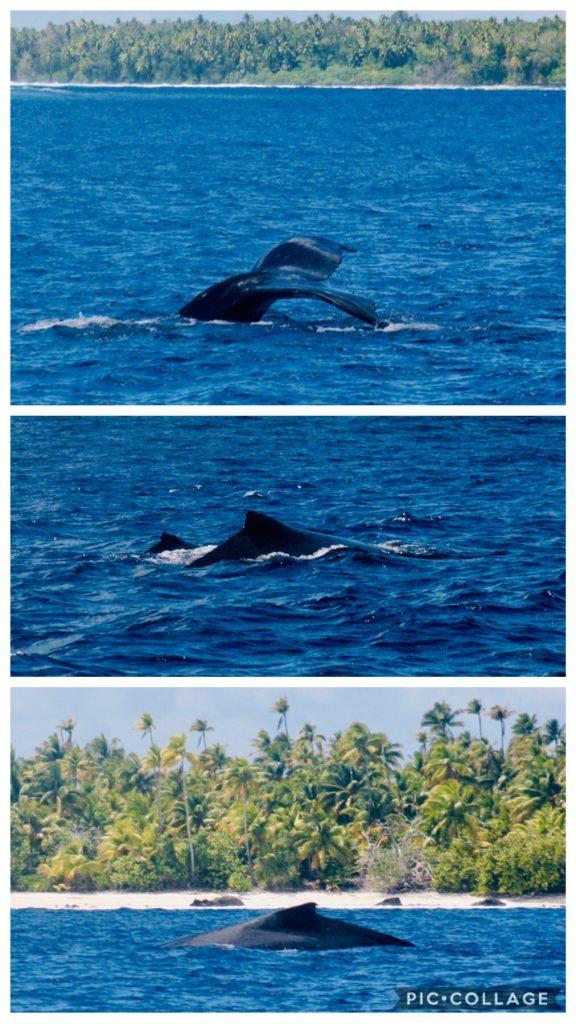 Whales in Teti'aroa