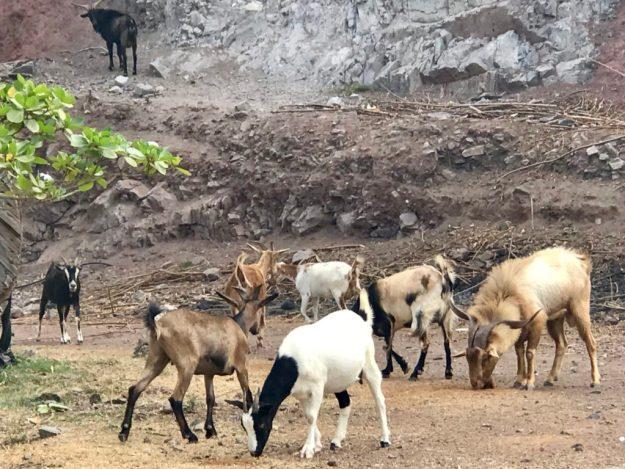Goats on Ua Pou