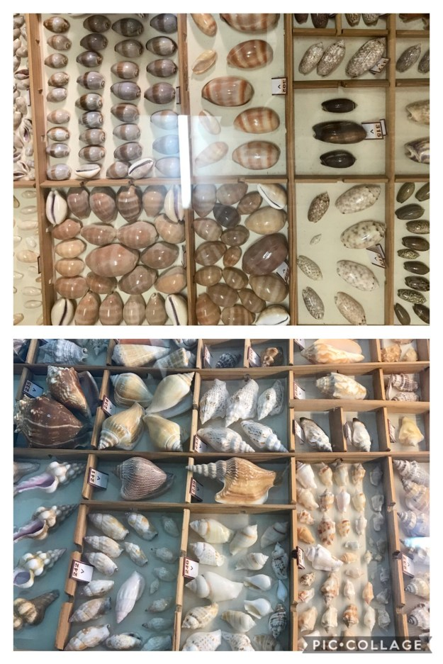 Shells that look like conch shells, but are not.