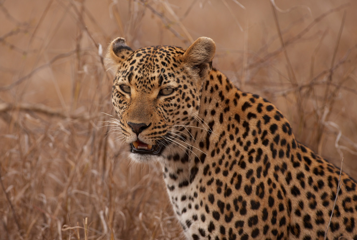 facts about leopards swain