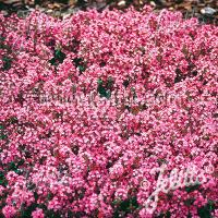 Creeping Thyme Seeds for sale | Magic Carpet Ground Cover ...