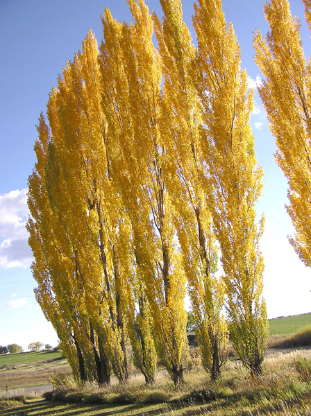 Southwest Colorado Wildflowers Populus nigra