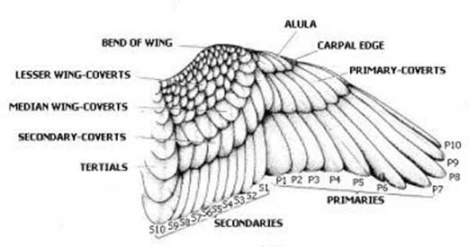 duck wing diagram understanding ladder hi there do you have some reference on feather patterns this next one is specifically wings