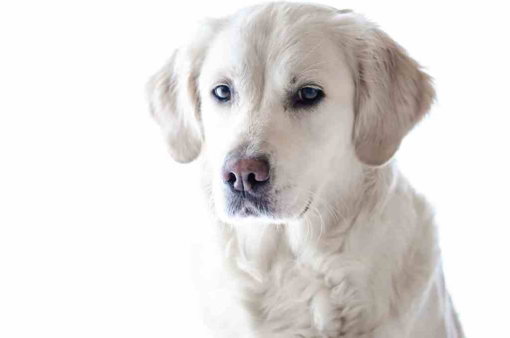 Can Dogs live without a spleen