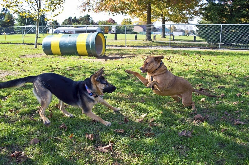 dogs playing at the park