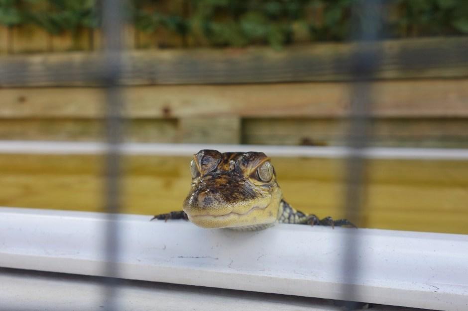 A baby 'gator, isn't it cute?