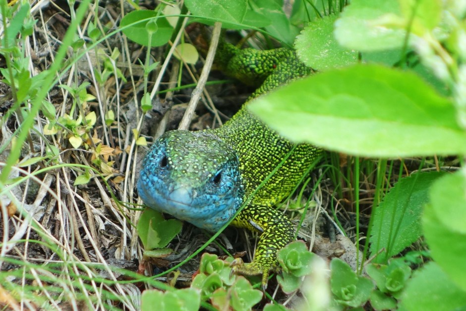 Spotted a green lizard, a very common reptile in the national park